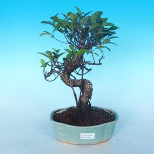 Kryte bonsai - Ficus retusa - mały figowiec