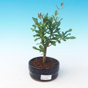 Pokój bonsai-PUNICA granatum nana-granat
