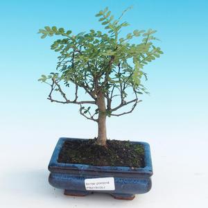 Indoor bonsai - Zantoxylum piperitum - Pepper Tree