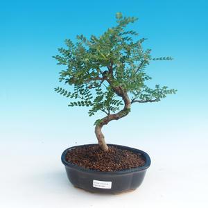 Pokój bonsai - Zantoxylum piperitum - Pepřovník