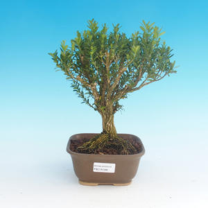Pokój bonsai - Buxus harlandii-korek buxus