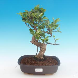 Kryte bonsai - Ficus kimmen - mały figowiec
