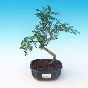 Room bonsai - Zantoxylum piperitum - Pepper Tree