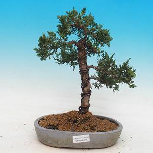 Outdoor bonsai - Juniperus chinensis - chiński jałowiec