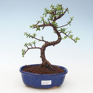 Kryty bonsai - Portulakaria Afra - Tlustice 414-PB2191350