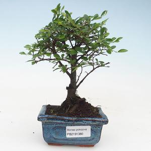Kryty bonsai - Ulmus Parvifolia-wiąz mały liść 414-PB2191380