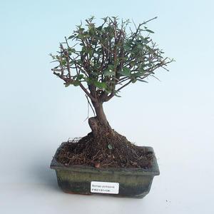 Kryty bonsai - Sagerécie thea - Sagerécie thea 414-PB2191406