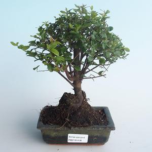 Kryty bonsai - Sagerécie thea - Sagerécie thea 414-PB2191408