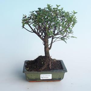 Kryty bonsai - Sagerécie thea - Sagerécie thea 414-PB2191409