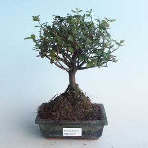 Kryty bonsai - Sagerécie thea - Sagerécie thea 414-PB2191410
