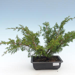 Outdoor bonsai - Juniperus chinensis Itoigawa-chiński jałowiec VB2019-261001
