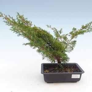 Outdoor bonsai - Juniperus chinensis Itoigawa-chiński jałowiec VB2019-261004