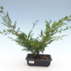Outdoor bonsai - Juniperus chinensis Itoigawa-chiński jałowiec VB2019-261011