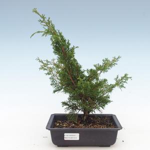 Outdoor bonsai - Juniperus chinensis Itoigawa-chiński jałowiec VB2019-261013