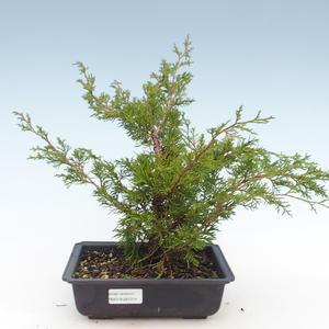 Outdoor bonsai - Juniperus chinensis Itoigawa-chiński jałowiec VB2019-261014