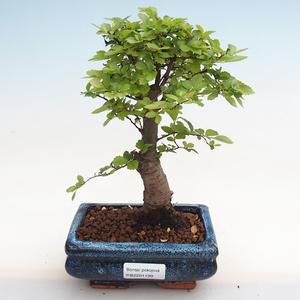 Kryty bonsai - Zantoxylum piperitum - Drzewo pieprzowe PB2191199