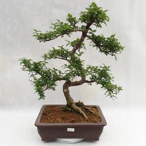 Kryty bonsai - Zantoxylum piperitum - Drzewo pieprzowe PB2191200
