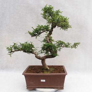 Kryty bonsai - Zantoxylum piperitum - Drzewo papryki PB2191201