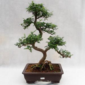 Kryty bonsai - Zantoxylum piperitum - Drzewo papryki PB2191202