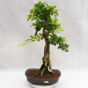 Kryty bonsai - Duranta erecta Aurea PB2191203