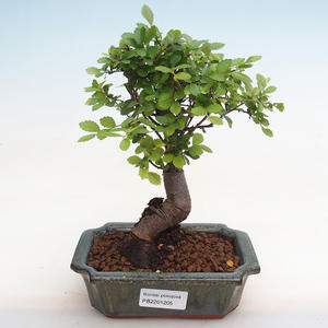 Kryty bonsai - Duranta erecta Aurea PB2191205