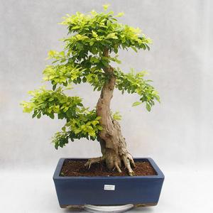 Kryty bonsai - Duranta erecta Aurea PB2191206