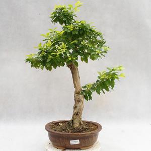 Kryty bonsai - Duranta erecta Aurea PB2191207