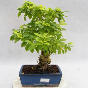 Kryty bonsai - Duranta erecta Aurea PB2191208