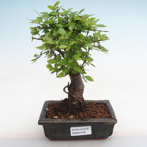Kryty bonsai - Duranta erecta Aurea PB2191209