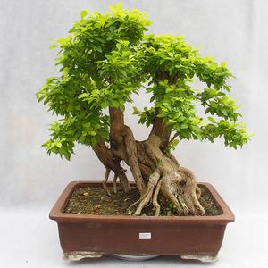 Kryty bonsai - Duranta erecta Aurea PB2191210