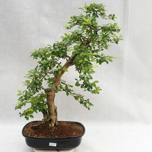 Kryty bonsai - Duranta erecta Aurea PB2191211