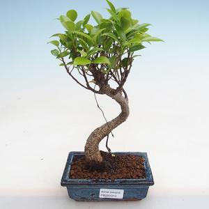 Kryty bonsai - Podocarpus - Cis kamienny PB2191213