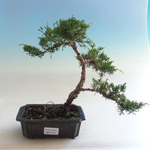 Kryty bonsai - kimono Ficus - ficus mały liść PB2191214
