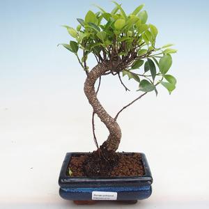 Kryty bonsai - kimono Ficus - ficus mały liść PB2191215