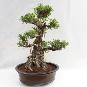 Kryty bonsai - kimono Ficus - figowiec mały liść PB2191217