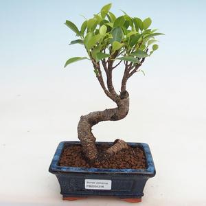 Kryty bonsai - kimono Ficus - figowiec mały liść PB2191218
