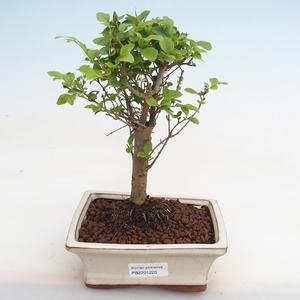 Kryty bonsai - kimono Ficus - ficus mały liść PB2191220
