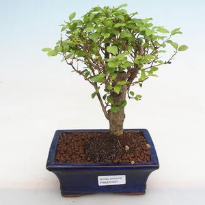 Kryty bonsai - Fraxinus angustifolia - Jesion wewnętrzny PB2191221