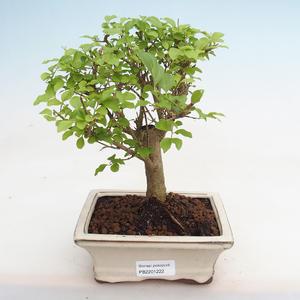 Kryty bonsai - Fraxinus angustifolia - Jesion wewnętrzny PB2191222