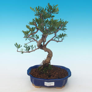 Indoor bonsai-Pistachio PB2191225