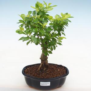 Kryty bonsai-pistacja PB2191231