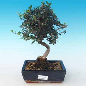 Kryty bonsai - Olea europaea sylvestris -Oliva Europejski mały liść PB2191236
