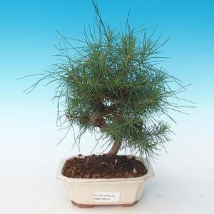 Kryty bonsai-Pinus halepensis-Aleppo Pine 405-PB2191241