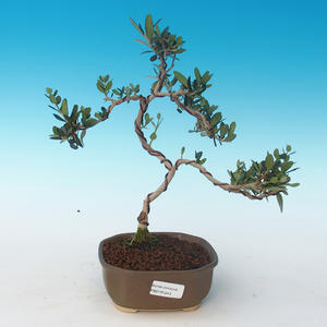 Kryty bonsai - Olea europaea sylvestris -Oliva Europejski mały liść PB2191243