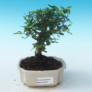 Kryty bonsai - Sagerécie thea - Sagerécie thea PB2191274