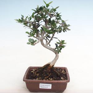 Kryty bonsai-Ulmus Parvifolia-Mały wiąz liściowy PB2191277