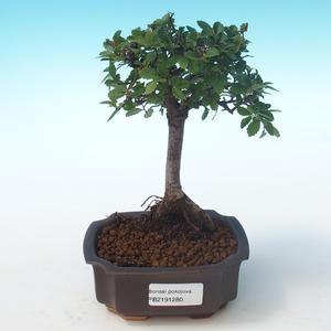 Kryty bonsai-Ulmus Parvifolia-Mały wiąz liściowy PB2191280