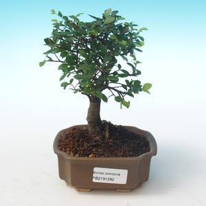 Kryty bonsai-Ulmus Parvifolia-Mały wiąz liściowy PB2191282