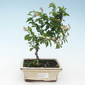 Kryty bonsai - Grewie - gwiazda lawendy 414-PB2191341