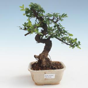 Kryty bonsai - Ulmus parvifolia - Wiąz mały liść PB2191424